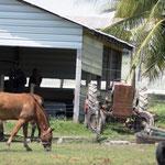 Hof der Mennoniten (die älteste Gemeinschaft von Mennoniten in Belize)