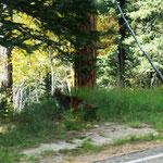 der Bursche lief uns dierekt vor´s Auto (Wolf)