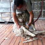 bei der Schafschur