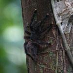 und hier eine Tarantel am Baum