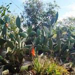 Kaktus-Giganz