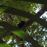 ein Brüll-Affe