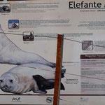eine andere See-Elefanten-Herde