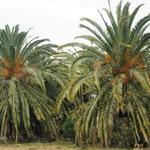 noch immer tolle Palmen auf dem Weg