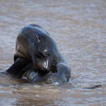 ... ein armes Seelöwenbaby wurde von der Mama getrennt und an Land getrieben