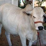 die Buckelkühe (wir nennen sie so) - am stärksten in Brasilien vertreten