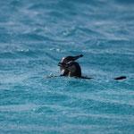 Pinguine baden