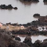 ein Pelikan-Nest mit zwei Küken