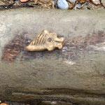 die Insel ist 3000 Jahre alt, hat eine lange Tradition und in der Erde sind noch immer alte Scherben zu finden, wie dieser Fisch zum Fischeschuppen