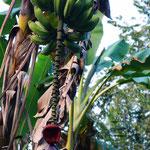 Bananen! Wenn unten die Blüte abfällt, sind sie reif!