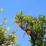 hier wachsen auch Mandarinen