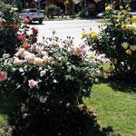 die Rosen beeindrucken uns - und ohne Rosenrost oder Blattläuse