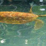 hier kommen sehr viele Wasserschildkröten ...