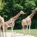 Giraffe - sehr stolze Tiere