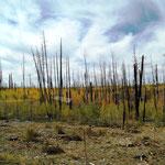 abgebrannte Wälder
