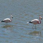Chilenische Flamingos sind nicht so rosa