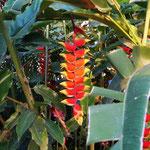 """... und Pflanzen - """"Lobster Claw""""  - sieht toll aus!"""