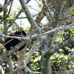 die ersten Affen in Sicht - leider haben die sich im Baum nicht stören lassen