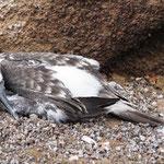 ein junger Blaufuß-Tölpel