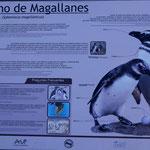 wir kommen bei der Magellan-Pinguin-Kolonie an!