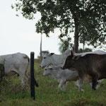 die Rinder sind ganz aufgeregt - Menschen auf der Ranch!