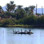 Pelikan-Insel