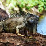 Leguan-Männchen