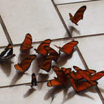 Mariposa - Schmetterlinge - überall