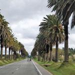eine Palmenallee - zurück nach Montevidio