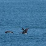 auch den Pelikanen gefällt das