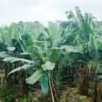 Bananen über Bananen - sie werden vor Fressfeinden eingepackt