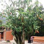 Wir staunen über die Trompetenbäume bei höchstens 14 Grad Tagestemperaturen