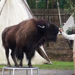 Büffel-Show