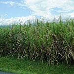 unterwegs weite Zuckerrohr-Fälder