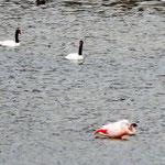 Schwäne und Flamingos in Eintracht