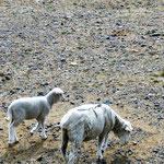 viele Schafherden am Wegesrand