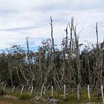 ganz Argentinien und Chile eingezäunt, selbst abgestorbene Bäume