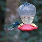 die kleinen Kolibries haben es uns angetan - zu putzig!
