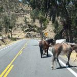 hier laufen uns Wildpferde über den Weg -