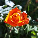 lauter Rosen umgeben uns.