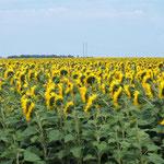 hunderte Sonnenblumenfelder - was machen die mit so vielen Sonnenblumen?