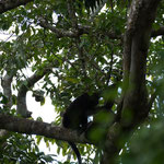 Hier ist eine ganze Brüll-Affen-Familie