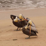 Pelikane (mit gelben Kopf)