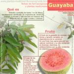 Guayaba. Propiedades y usos