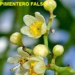 Pimentero falso