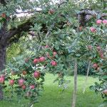 Unser alter Apfelbaum mit seinen knackigen, großen Äpfeln (ab ca. Mitte September)