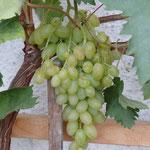 """Anfang/Mitte September sind unsere Weintrauben """"naschbereit"""""""