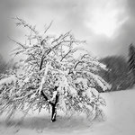 Apfelbaum im Neuschnee