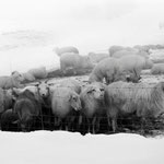 Schafherde im Winterquartier, Schnee