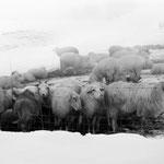 Schafherde im Winterquartier, Schnee und Nebel